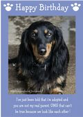"Miniature Long Haired Dachshund-Happy Birthday - ""I'm Adopted"" Theme"